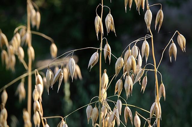oats-3783831_640